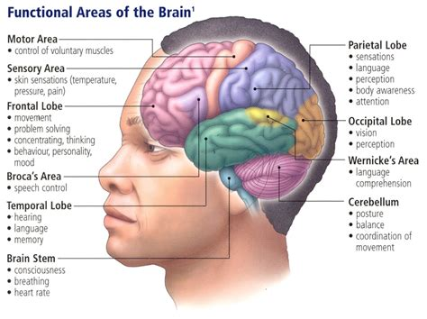 parallel circuits mediating distinct emotional coping reactions to different types of stress human brain neuroscience cognitive science