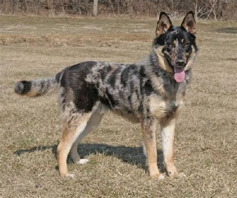 german shepherd australian shepherd mix best 25 australian german shepherd ideas on