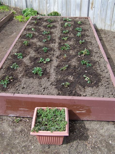 how to plant strawberries in a raised bed image gallery strawberry beds