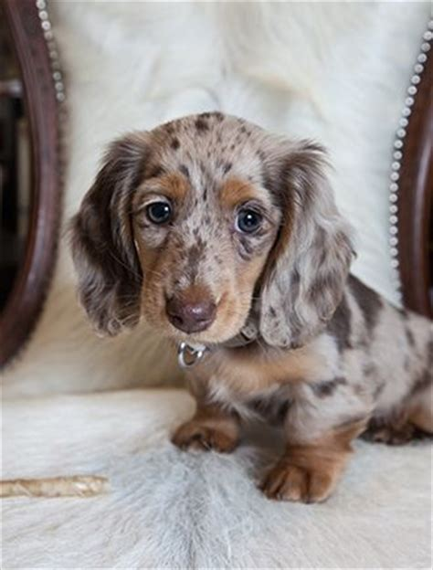 longhaired dachshund puppy haired dachshund puppies search ideas beautiful vlek