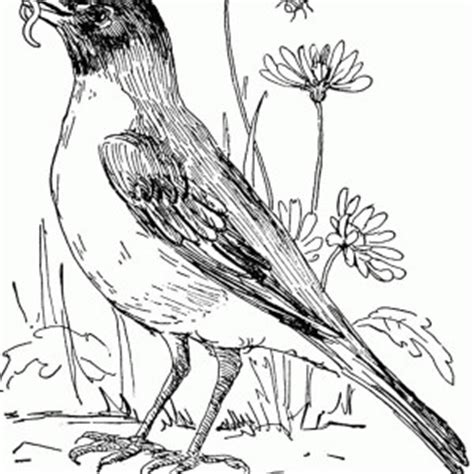 red robin coloring page red robin bird coloring pages coloring pages