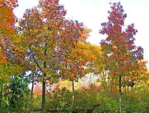 autumn maple trees free stock photo public domain pictures