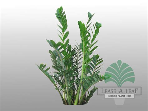 Plants That Need No Sunlight by Zamioculcas Emerald Palm
