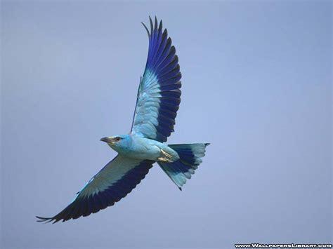 fondo de escritorio blue bird in fly flying litle pups
