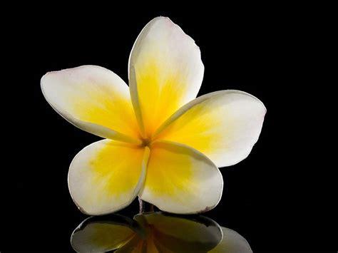 fiore plumeria frangipani bouquet dove trovarlo spendendo poco