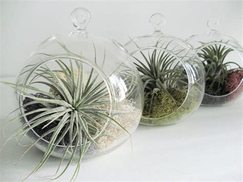 small hanging plants small hanging air plant terrarium your choice of moss colors