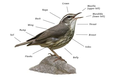 bird identification birding basics