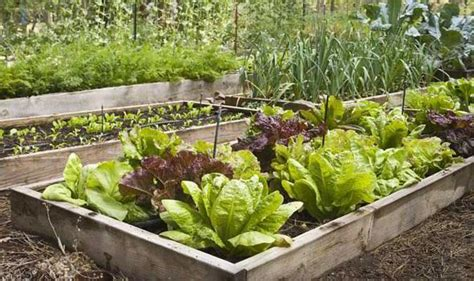 How To Lettuce From Your Garden by Alan Titchmarsh Tips On Homegrown Lettuce Garden