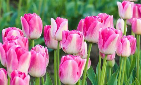 fiori bellissimi foto tulipani come coltivarli per avere dei fiori bellissimi
