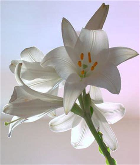 fiore giglio giglio fiore elegante