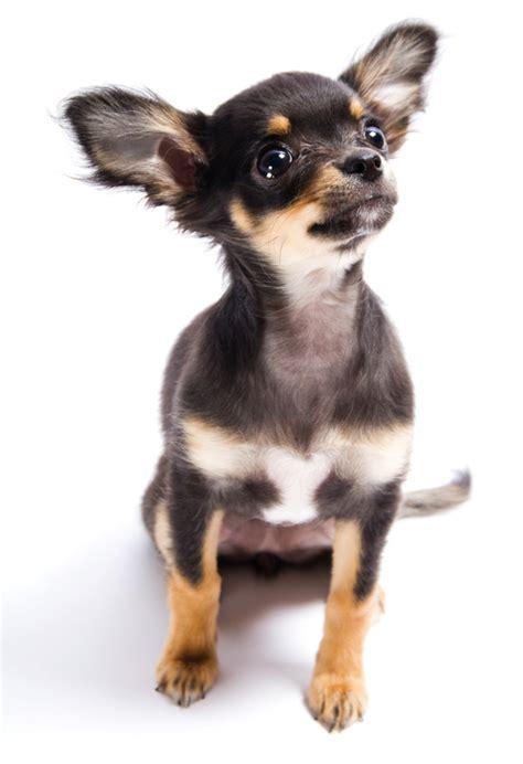 Chihuahua Shedding Hair by Coat Chihuahua Sm Coats