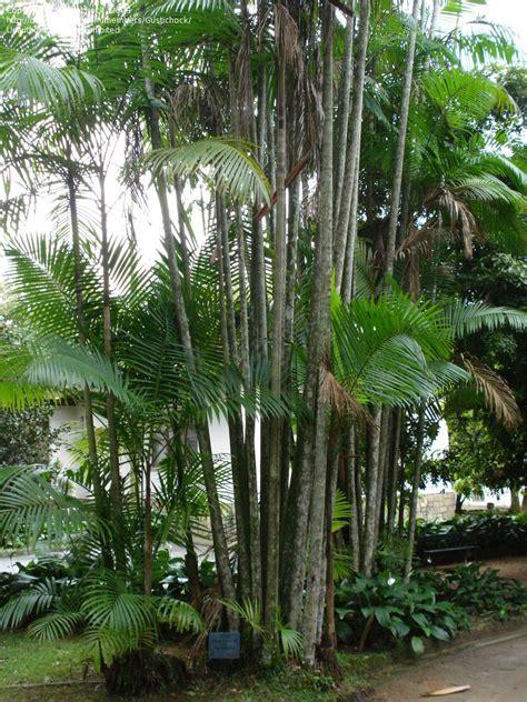 De Brazil Palm Gardens by Plantfiles Pictures Assai Palm Acai Palm Euterpe