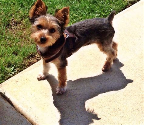 hair styles for male yorkies 17 best images about yorkie haircuts on pinterest kinds
