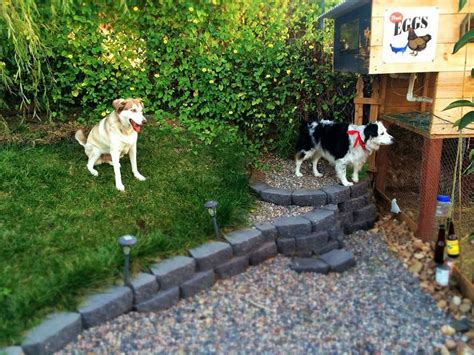 is backyard one word or two how to train your dog to not kill your chickens mind