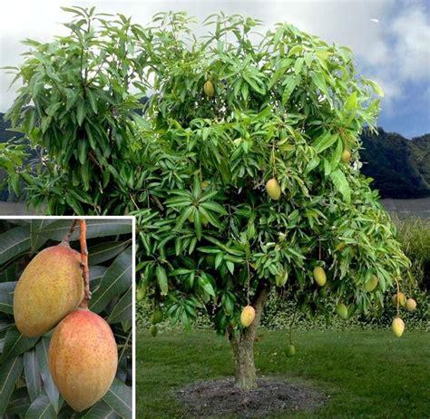 Patio Garden Containers - mango pickering mangifera indica hybrid