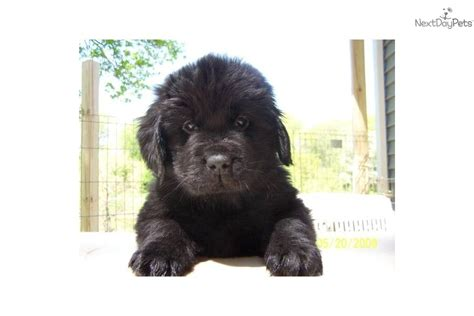 yorkie poo puppies for sale in appleton wi puppies for sale near wisconsin breeds picture
