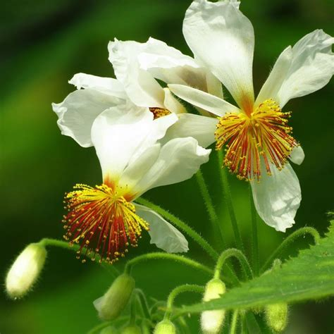 fiori di tiglio tiglio africano sparmannia africana sparmannia