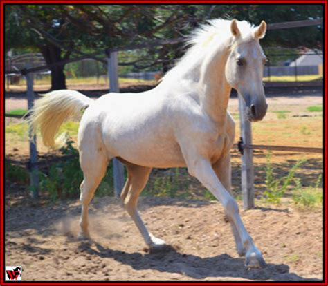 tennessee walking horse  resident horse  harvey