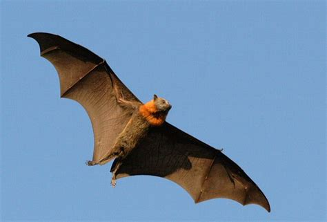 bat is a bird or mammal f f info 2017