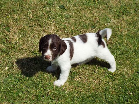 springer spaniel puppies springer spaniel puppies carlisle cumbria pets4homes
