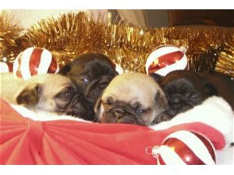 pugs for sale in ga pug puppies for sale in ga