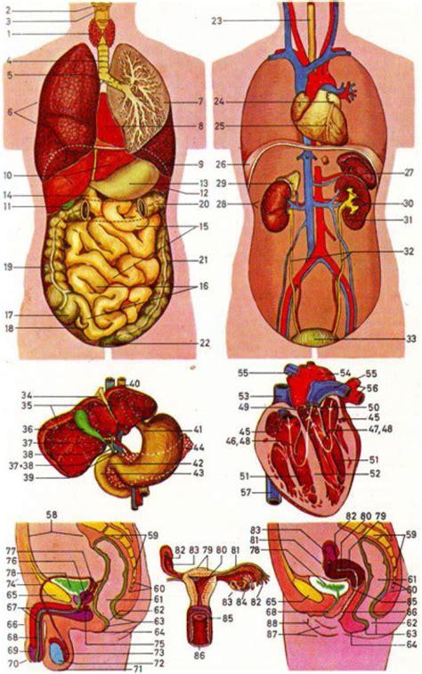 diagram of the human and organs diagram of human organs front and back human