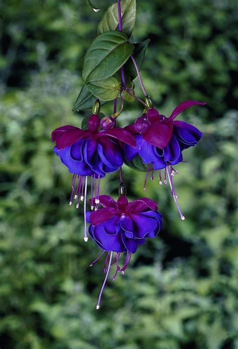 Fuschia On Blue by 73 Best Images About Fuchsias Varieties On