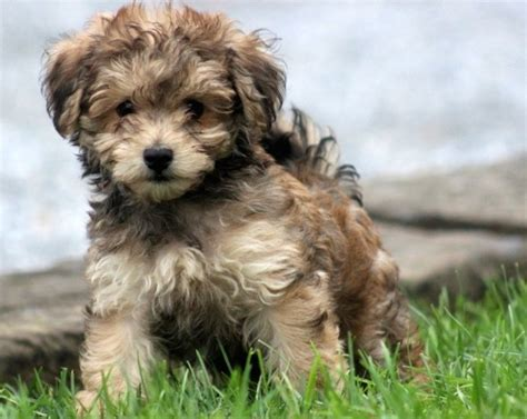 apricot havanese puppies grown havapoo breeds picture