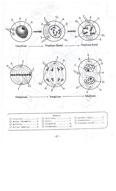 Mitosis coloring worksheet myideasbedroom com