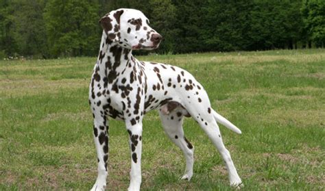 Dalmatian Shedding by Dalmatian Breed Information Breeds Picture