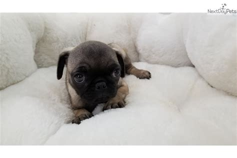 pug puppies for sale orange county sassy pug puppy for sale near orange county california a9a27930 4ad1