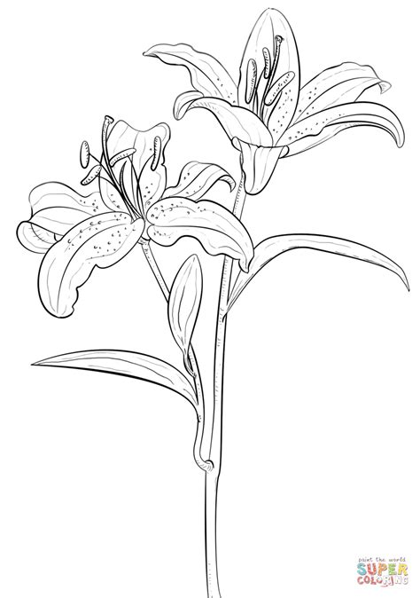coloring pictures of lily flowers tiger lily coloring page free printable coloring pages