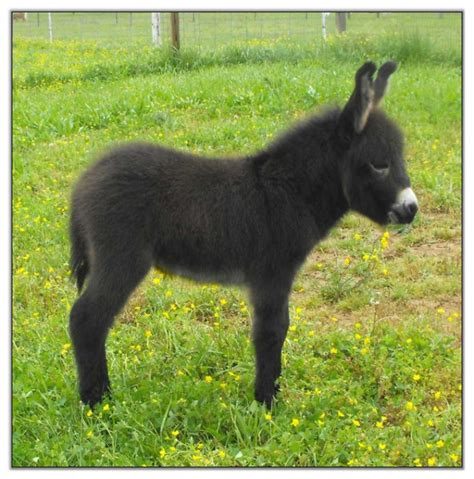 miracle of the century a baby donkey comes out of womb mini donkey foal