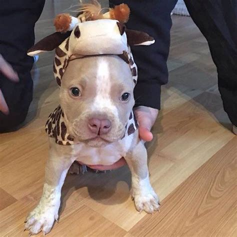 pitbull clothes pit bull puppies in clothing my pit bull friend