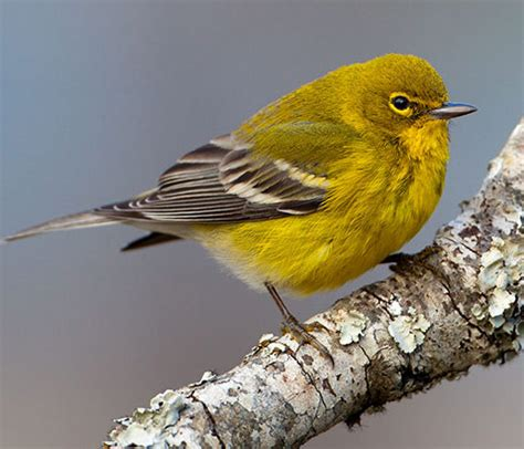 bird species pine warbler