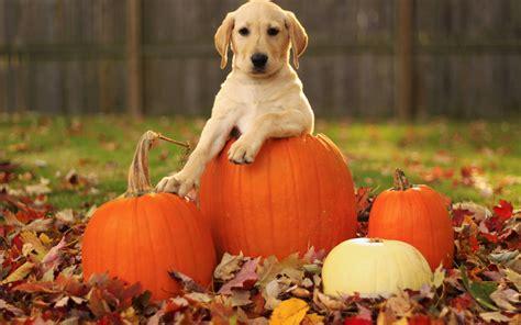 puppy and pumpkin pumpkin backgrounds free wallpaper cave