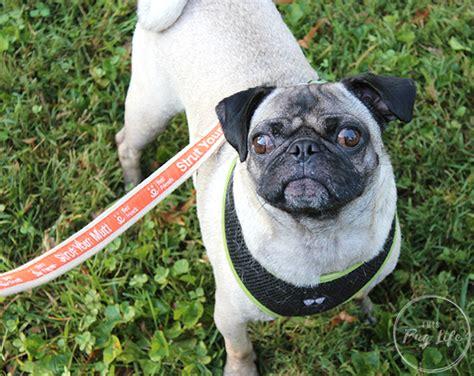 pugs for sale st louis strut your mutt st louis 2017 this pug