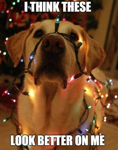 Christmas Dog Meme - 24 best pets in trouble images on pinterest funny