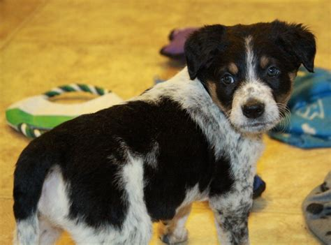 blue heeler border collie mix puppies for sale collie blue heeler cross puppies for sale dogs for sale in ontario canada