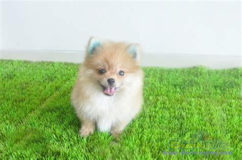 nintendogs pomeranian dunia anjing jual anjing pomeranian miniature pomeranian