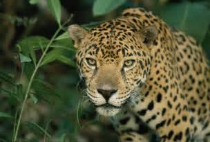 Jaguar Panthera Onca Facts Image Gallery Jaguar Panthera Onca