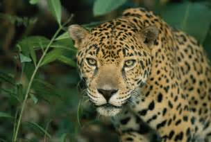 Jaguar Panthera Onca A Jaguar Panthera Onca Pauses Photograph By Steve Winter
