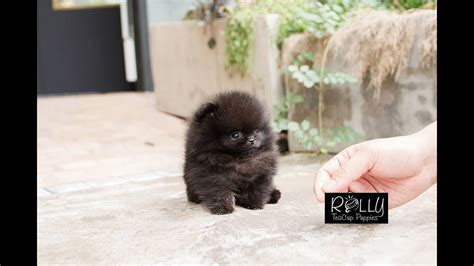 black teddy pomeranian true teacup black pomeranian teddy kasey rolly teacup puppies