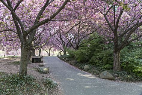 6 cherry tree road when do the cherry trees blossom
