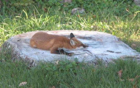 backyard wildlife backyard wildlife fox 187 curious cat science and