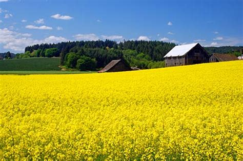 Washington County Oregon Court Search File Canola Field In Flower Washington County Oregon Scenic Images Washda0094 Jpg