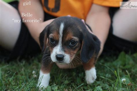 west virginia puppies beagle puppy for sale near morgantown west virginia c0fd0eed efb1