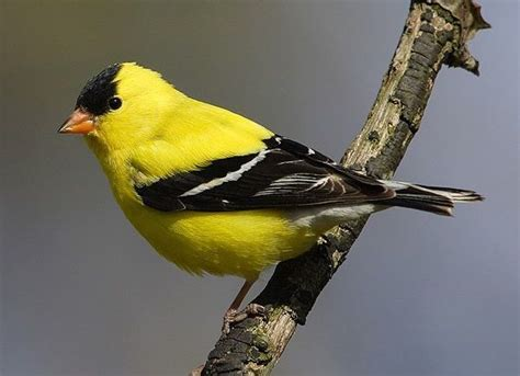 image gallery identify yellow birds