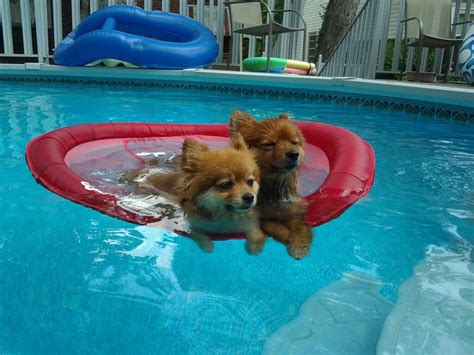 how are pomeranians in heat how to avoid heat stroke with your pomeranian