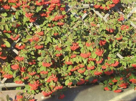 Siepe Con Bacche Rosse by Riconoscimento Per Voi Facile Su Arbusto A Grappoli Di